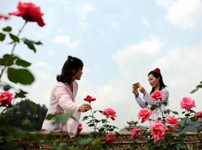 """贵州:玫瑰花开出""""美丽经济"""""""