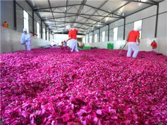 万亩食用玫瑰进入盛花期