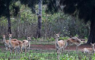 海南坡鹿:从濒临灭绝到海南名片