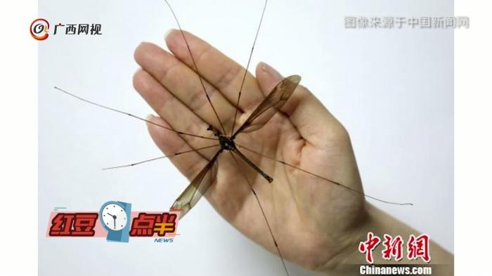 你一定没见过的世界最大蚊子