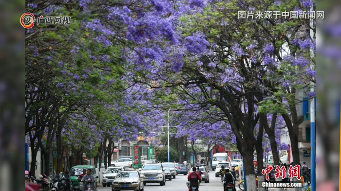 盛开蓝花楹将道路装扮成紫色花海