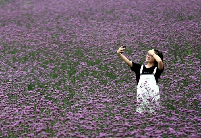 马鞭草,那一片紫色的花海