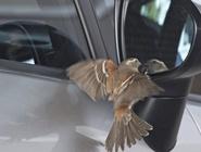 小鸟照镜子