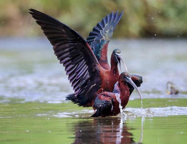 国家二级保护动物彩鹮现身