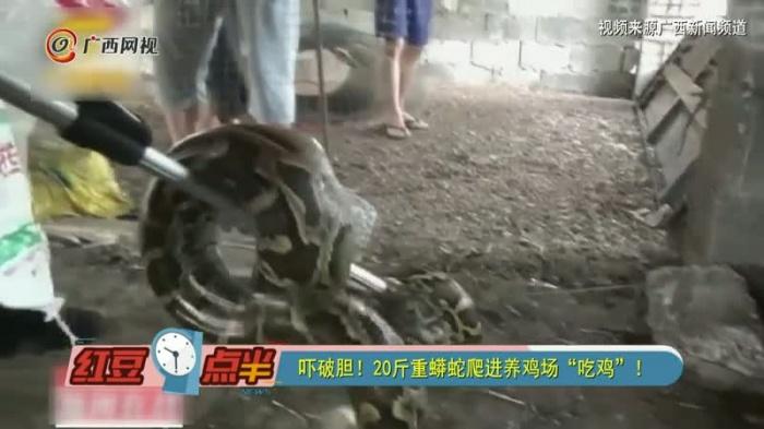 """吓破胆!20斤重蟒蛇爬进养鸡场""""吃鸡""""!"""