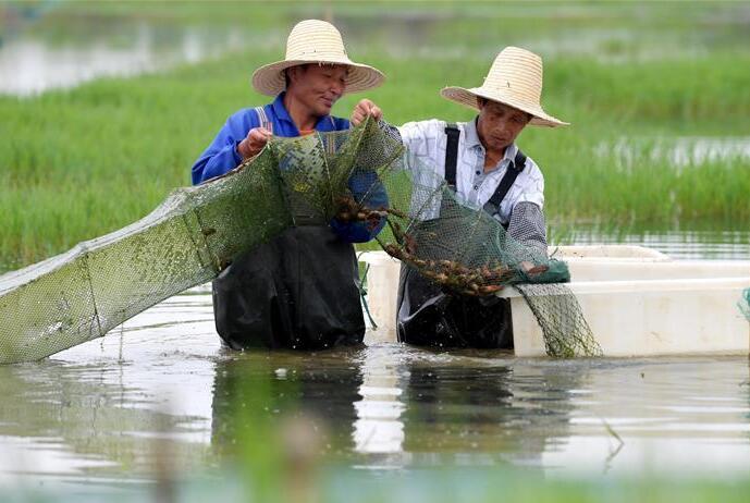 鲜活小龙虾 共养富农家