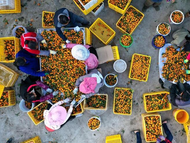 广西鹿寨:做大做强产业 提高脱贫质量