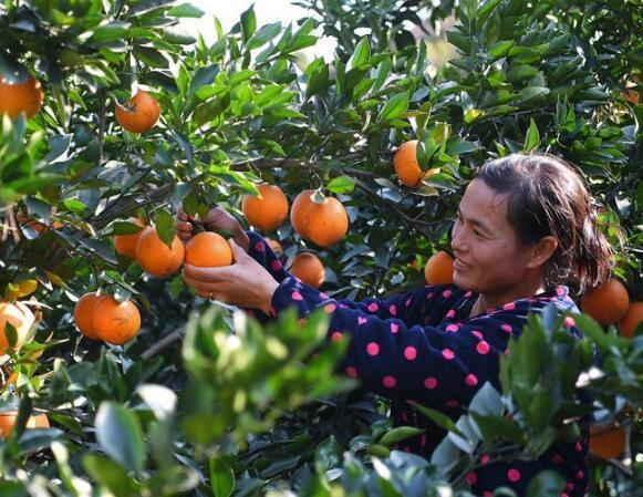 赣南脐橙赣北种 修水脐橙进入采摘旺季