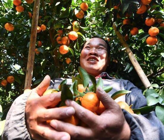 广西鹿寨县橘橙丰收