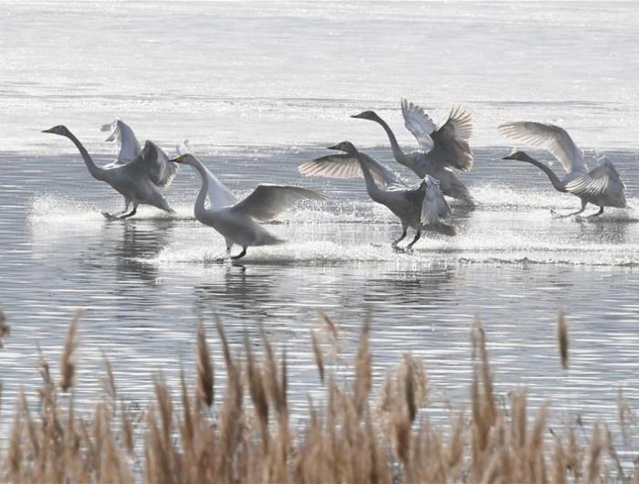 三门峡:白天鹅黄河湿地越冬