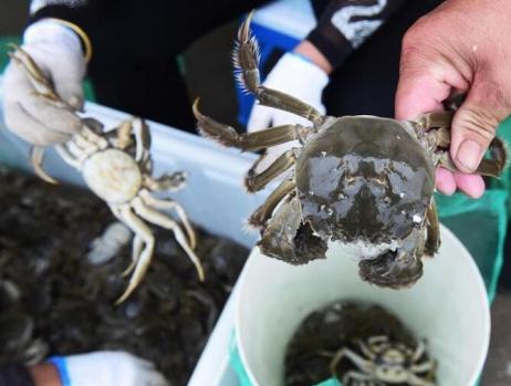 安徽五河:秋风起 蟹丰收