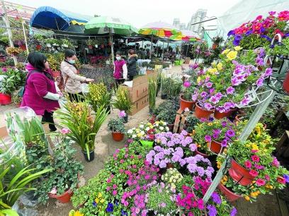 年花市场渐火热!广西盆栽植物价格较去年略降
