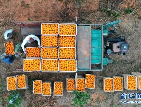 广西上思:红香橙丰收