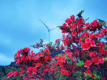 广西这片杜鹃花海美爆了!瞧那漫山遍野的娇红