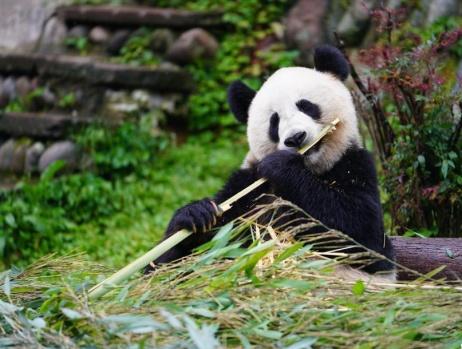 探访碧峰峡的大熊猫