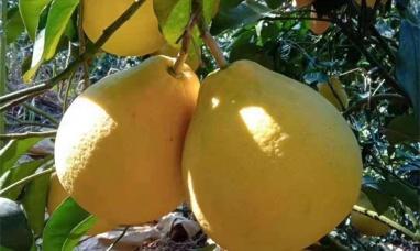 碧桂园消费助农柚子节爱心采摘行开始啦,快来报名