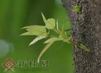 最明显的是榕树纷纷冒出了新芽.
