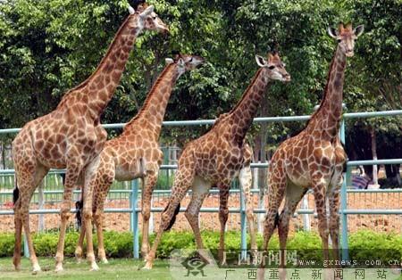 4只长颈鹿落户南宁动物园