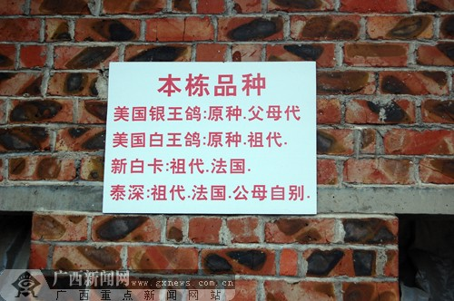 [原创]和笙瑟鼓 鸽声飞扬 记南宁市京元良种鸽场