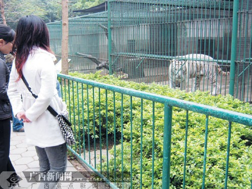 南宁动物园国外老虎让人开眼界 黑虎每天吃3斤肉-广西