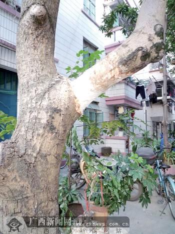 遭砍的芒果树