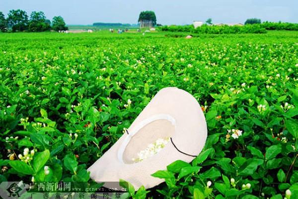 横县的茉莉花海,茉莉花种植基地.广西新闻网记者 唐志坚 摄