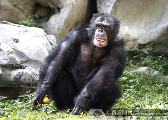 """如今,南宁动物园里的""""水中街舞达人""""中华白海豚,""""劲舞王子""""黑猩猩,"""""""