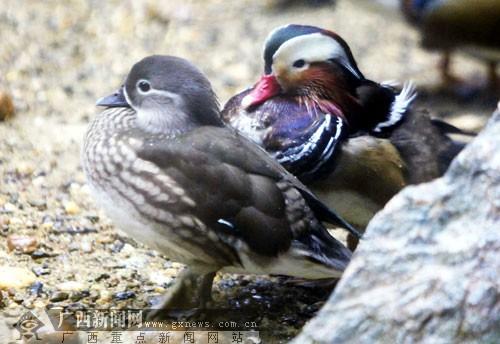 1月5日,邕城持续低温,图为南宁动物园里相拥在一起取暖的鸳鸯.