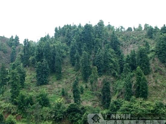 种植杉树,松树等树种,后来还种八角,木薯等经济林木.