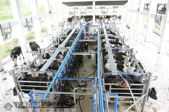 """50多消费者皇氏亲亲牧场high""""挤奶"""" 机械化生鲜奶"""