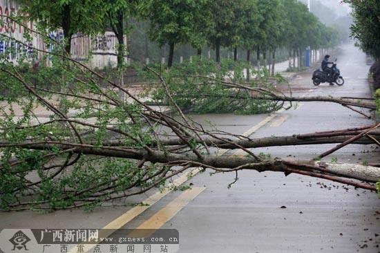 柳州市区多处树木被风刮倒 造成两人受伤