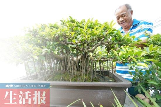 一棵小叶榕盆景自述:我家的阳台瓜果飘香