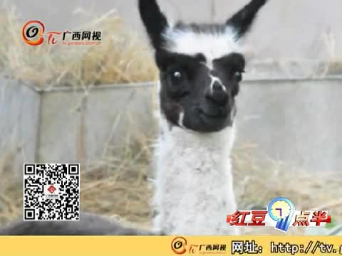 """杭州动物园惊现""""熊猫""""羊驼-广西网视"""