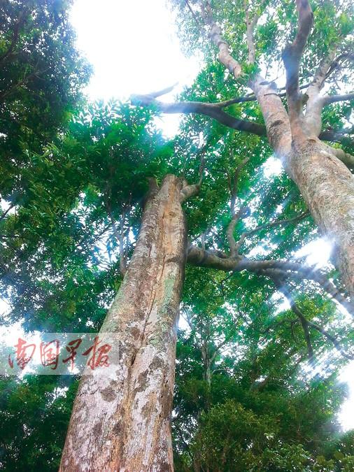 山村有6棵野生沉香树频遭盗贼光顾 村民养狗护树