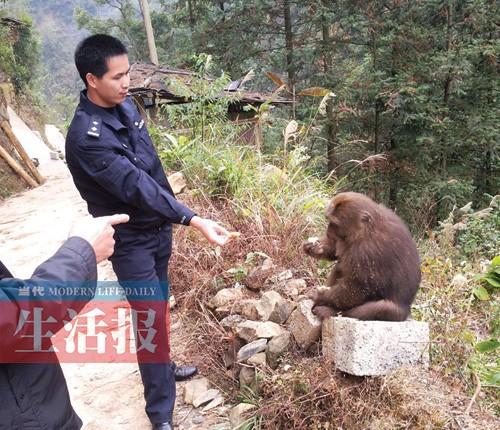 为了保护野生动物,资源县林业局决定将猴子赶回森林,可没过几天,猴子