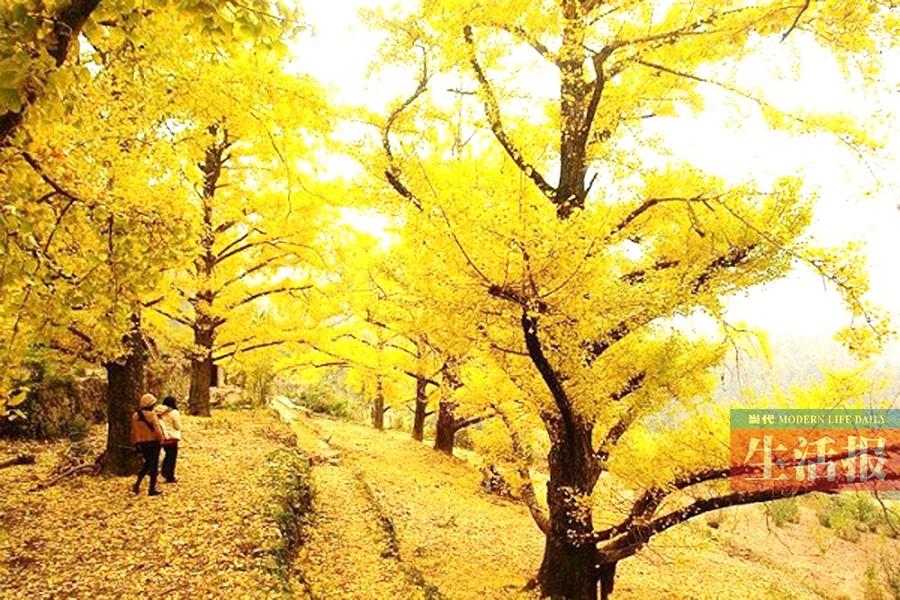 市区各种树木的树叶开始随着气温的降低而逐渐变色,其中,枫香,银杏
