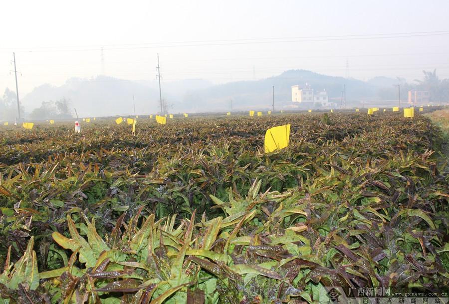 """贺州八步区:""""百年菜乡""""的农业现代化之路_广西新闻网图片"""
