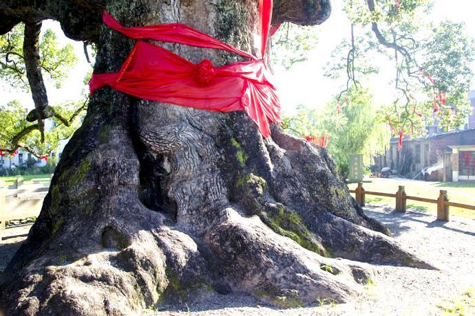 古樟王 千年神树送福音