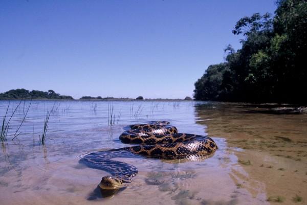 澳洲巨蟒吞下近2米长鳄鱼 惊心动魄的蛇鳄激战