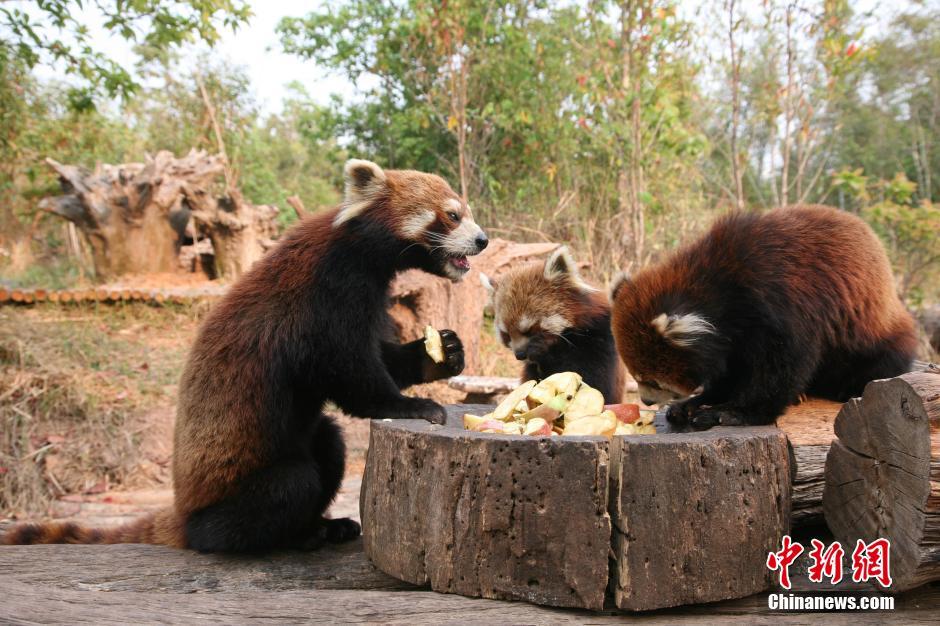 """探访普洱太阳河国家森林公园 小熊猫""""萌""""倒游客"""
