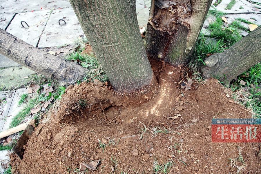 """""""这株""""刺桐根部是这样的 栽种者说 这是同一株树 """"怪树""""是一种什么样的树木呢?广西大学林学院林学院符韵林教授告诉记者,""""怪树""""名称叫""""刺桐""""。但因树根埋得比较深,他一时不好确定是一株树,还是两株树。 """"是一株!""""第十教学楼门口一名女管理员告诉记者,这棵树是她亲手栽种的。2008年的春天,当时她还是学校绿化科的工作人员。当年,她和同事从苗圃采购了一批苗木,其中就有这株刺桐,当时这株树苗"""