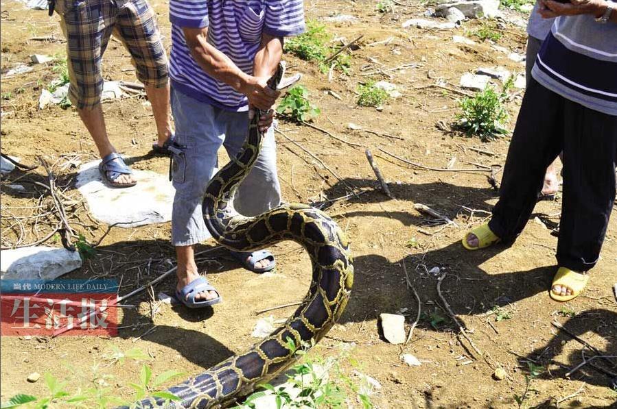 村民逃脱后,大蟒蛇竟将一只重约30斤的山羊活活缠死,希望警方到场处理