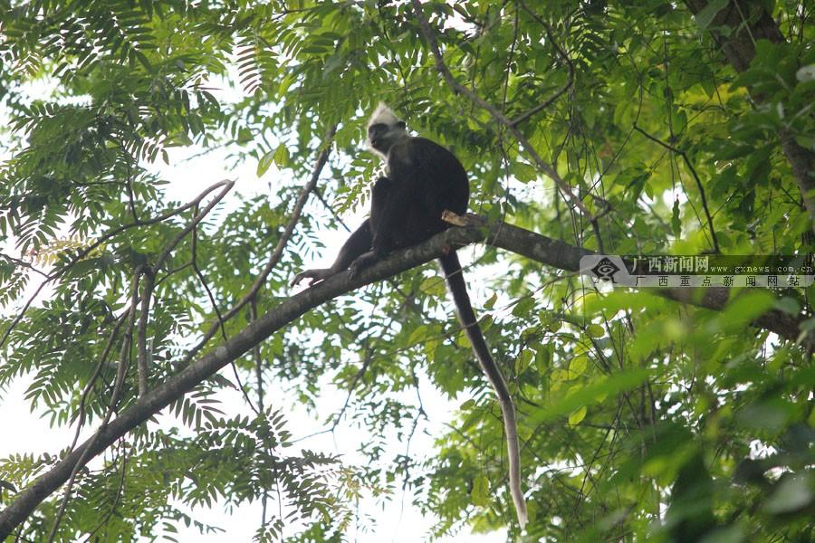 扶绥岜盆白头叶猴 人猴和谐现自然奇观