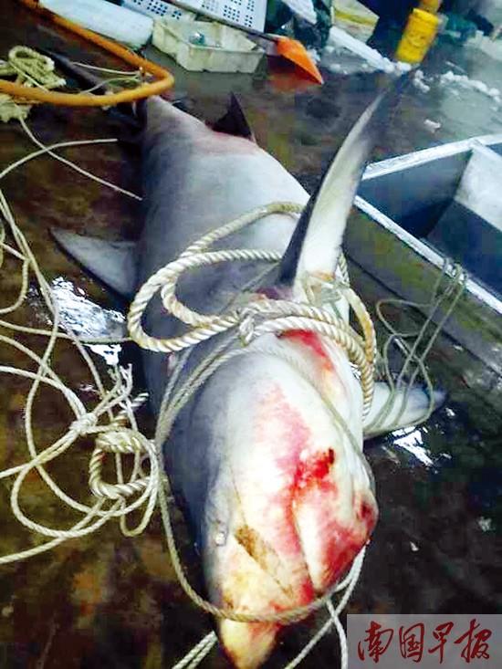 北海涠洲岛附近海域一母鲨鱼被捕获