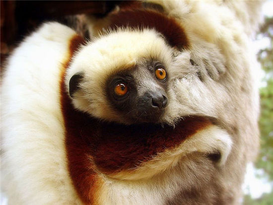 马达加斯加岛上的狐猴