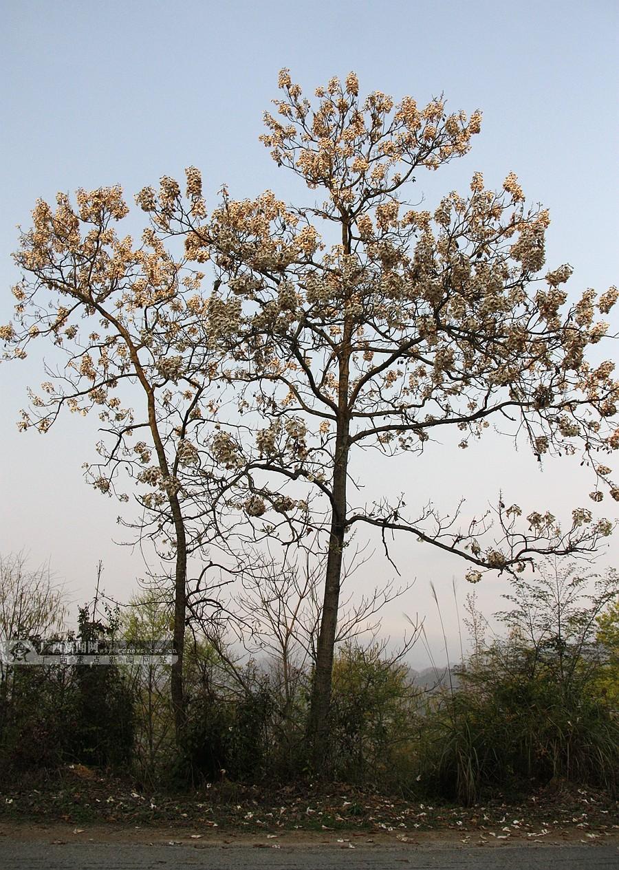 泡桐树相继开花