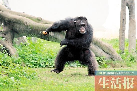 """黑猩猩""""山米"""" 降生 因为缺乏母乳 我被送到""""幼儿园"""" 我叫优优,你也可以叫我的英文名yo-yo。我是一只黑白疣猴,老家是遥远的非洲。2013年7月14日,我降生在南宁市动物园。在我出生3天时,妈妈的奶水不够,无法继续哺育我,这可急坏了动物园里的饲养员们。 后来,我被带到了动物园里的""""幼儿园""""。在这里,还有很多像我这样的小伙伴:狒狒、山魈、黑叶猴、小熊猫、小老虎……它们或者是被母亲遗弃、断奶,或者是意外致"""