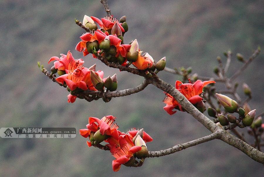 隆林南盘江畔木棉花盛放