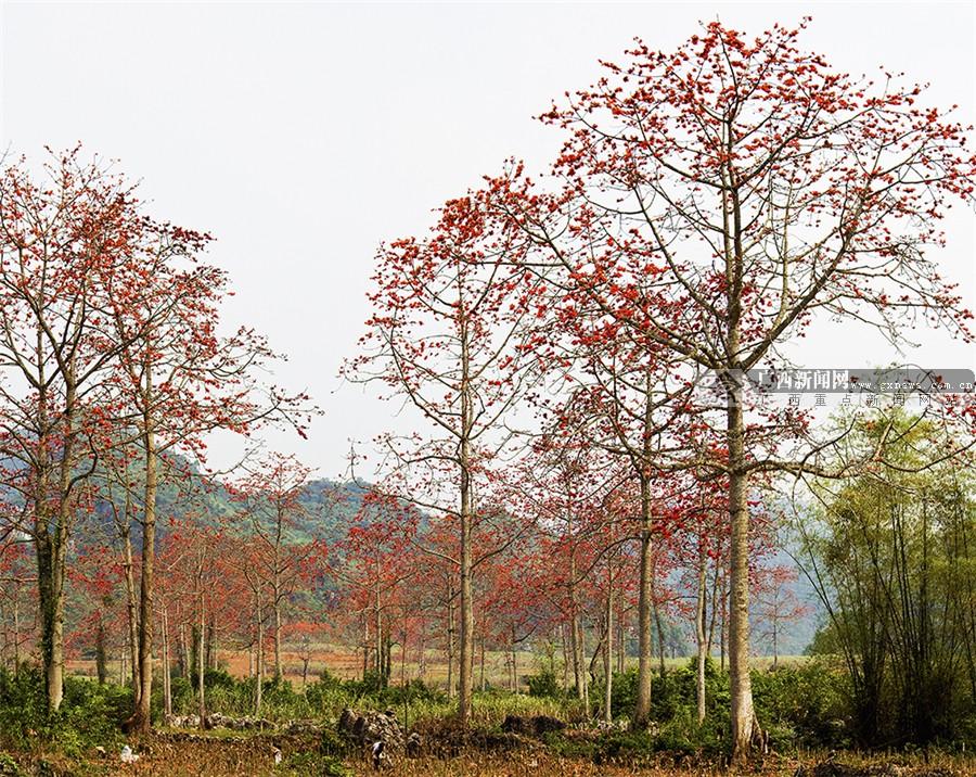 村寨中,城市里,庭院内,到处都绽放着幸福的木棉花,灿烂如火,美丽如霞&