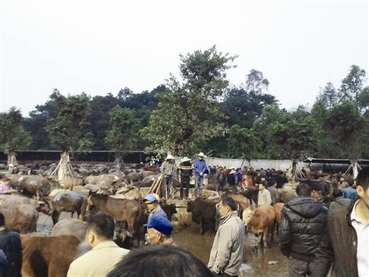 南宁一活牛交易场无卫生防护 死牛病牛照样有人收